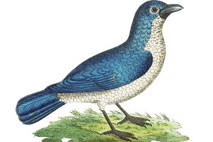 Illustration of shrike