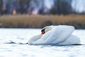 mute swan swims in the morning rays on the lake