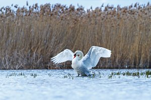 white swan revealing wings standing in the water