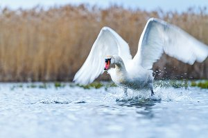 incredible flight of white swan over water