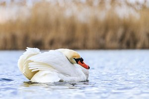white swan cleans the feathers on the water