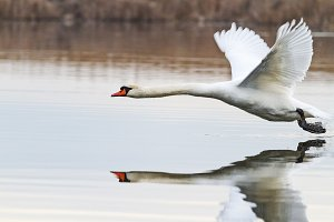 white swan flies beautifully over water