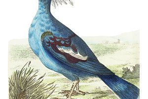Illustration of crowned pigeon