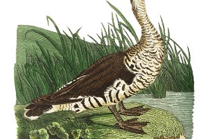 Illustration of duck