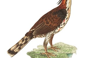 Illustration of falcon