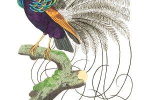 Illustration of paradise bird