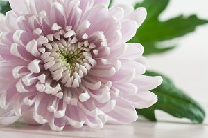 Spring & Summer Chrysanthemum Flower