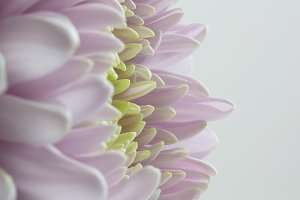 Pink & Green Chrysanthemum Petals