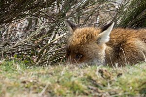 Red fox (Vulpes vulpes)