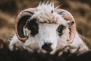 Young Sheep on the Faroe Islands