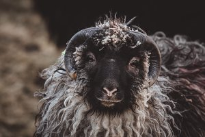 Black Sheep with Horns