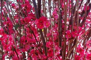 japanese quince flowers bush