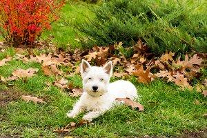 Dog west highland white terrier. Whi