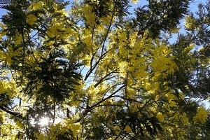 Mimosa tree blossom at dawn