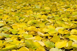 Autumn leaves. Background of yellow-