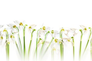 Snowdrop flowers - long banner