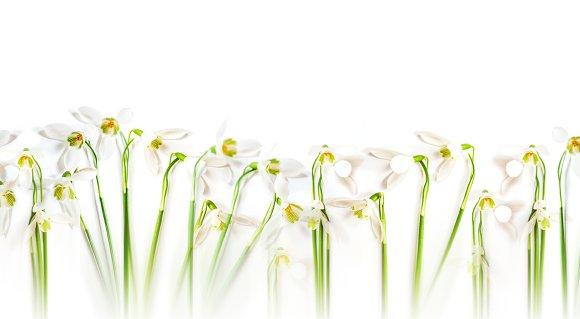 Snowdrop Flowers Long Banner
