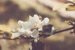 Spring Apple Tree, White Flowers