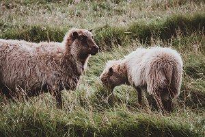 Faroese Sheep in Summer