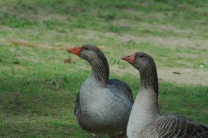 A Pair Of Geese On A Walk.