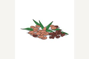 Isolated clipart Pecan