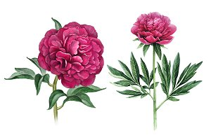Watercolour illustrations of peonies