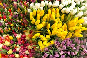 Colorful tulips. Spring flowers