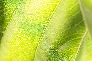 Medlar leaves