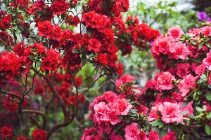 Red and pink camellias