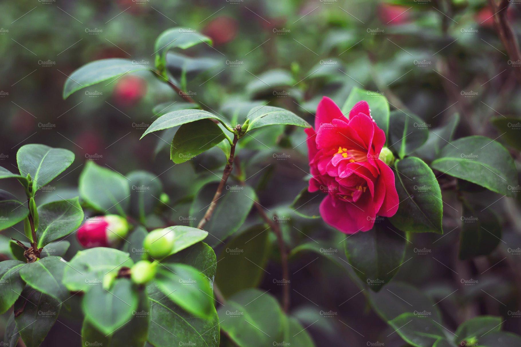 Pink camellia flower nature photos creative market mightylinksfo