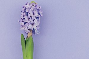 Fresh blooming blue hyacinth, square