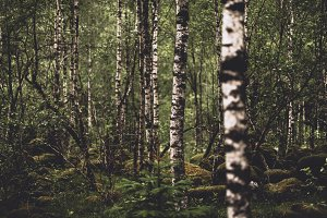 Birch Tree Forest in Summer Colors