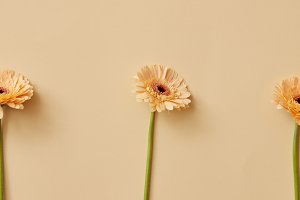 Fresh flowers beige gerbera presented on a beige background.