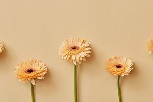 Yellow flowers gerbera on yellow background