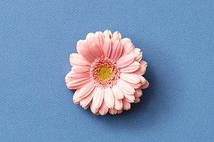 Fresh pink gerbera flower isolated on a blue background