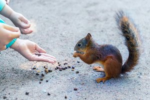 squirrel is fed from hand