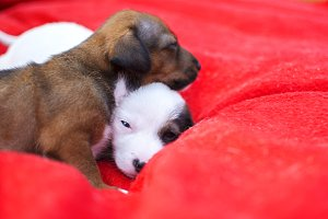 Puppies of dog on red background.