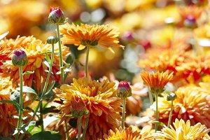 Orange chrysanthemums on flower bed