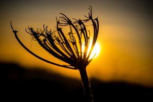 Backlit of a dandelion at sunset