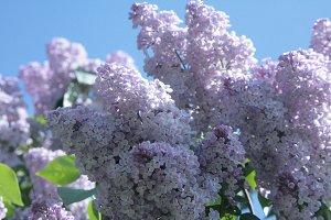 Lilac Pastel colors