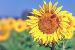 Bright young sunflower