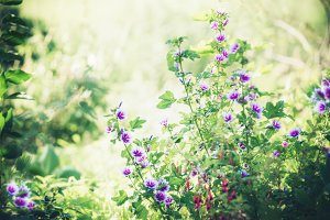 Purple hollyhocks flowers in garden