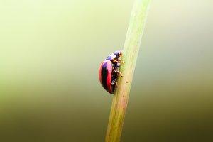 ladybugs, insect, macro,