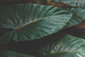 Large Dark Leaves