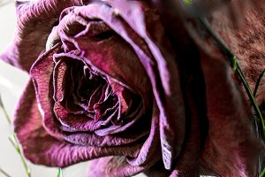 Red Rose wilted