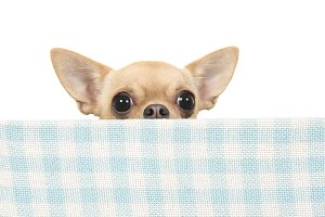 Chihuahua dog peeking over the edge