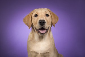 Labrador on purple