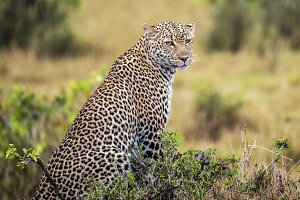 Leopard - Waiting for lunch