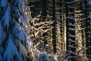 Sunlight shining through Snow Forest