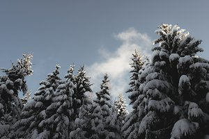 Blue Sky and Trees with Snow